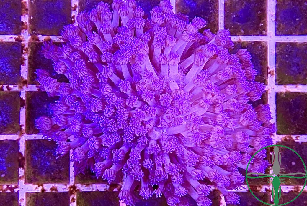 Goniopora blau/lila
