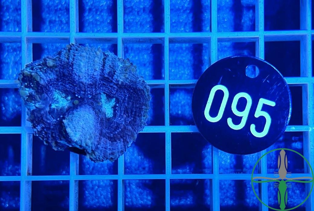 Acanthastrea bowerbanki blau - WYSIWYG 095