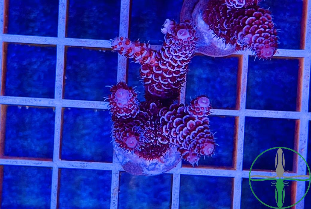 Acropora Millepora rot - Steinkoralle Australien