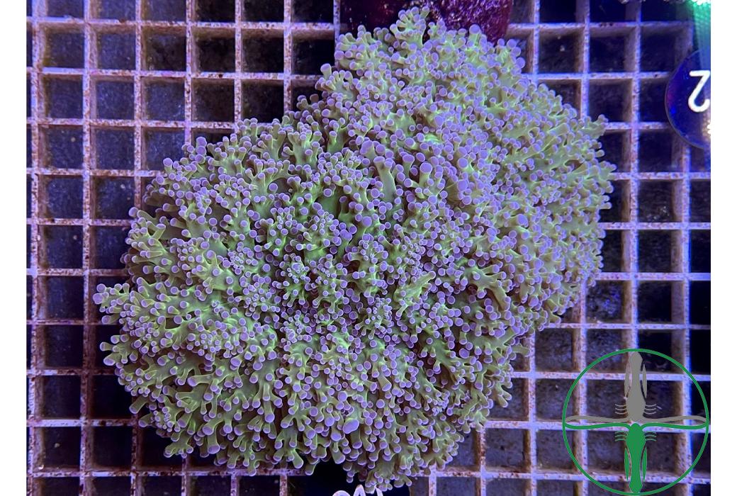 Euphyllia Divisa lila grün - WYSIWYG 011