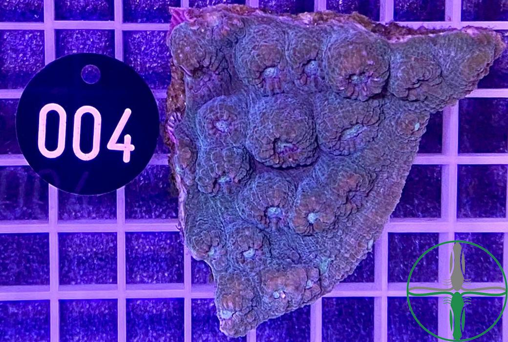 Echinophyllia Aspera Chalice Aqua Green - WYSIWYG 004
