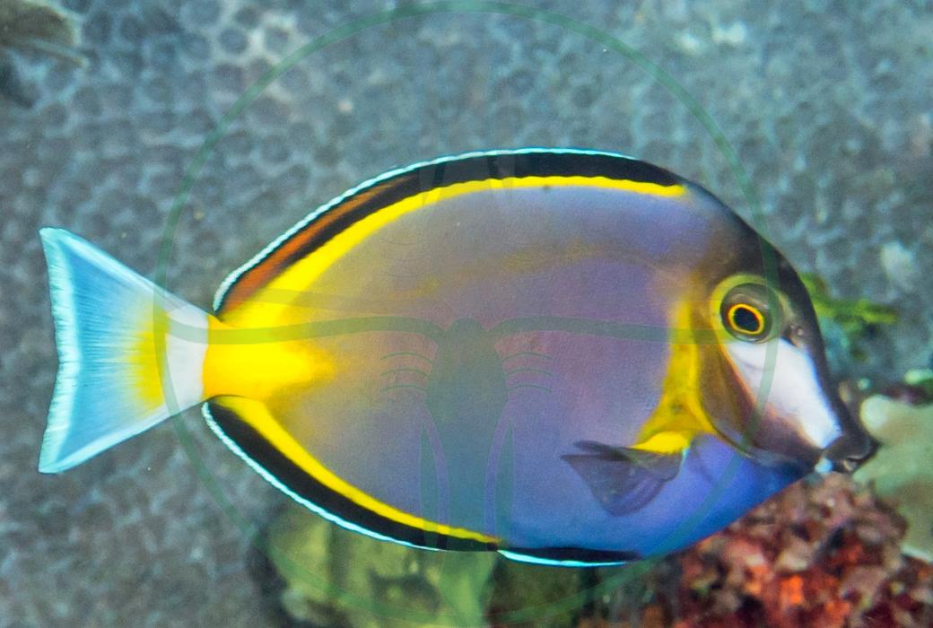 Acanthurus japonicus - Philippinen Doktorfisch