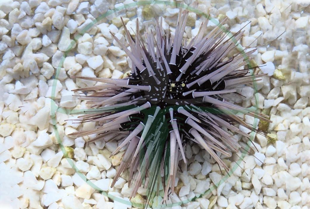 Echinometra Viridis - Rotschwarzer Riffdachseeigel