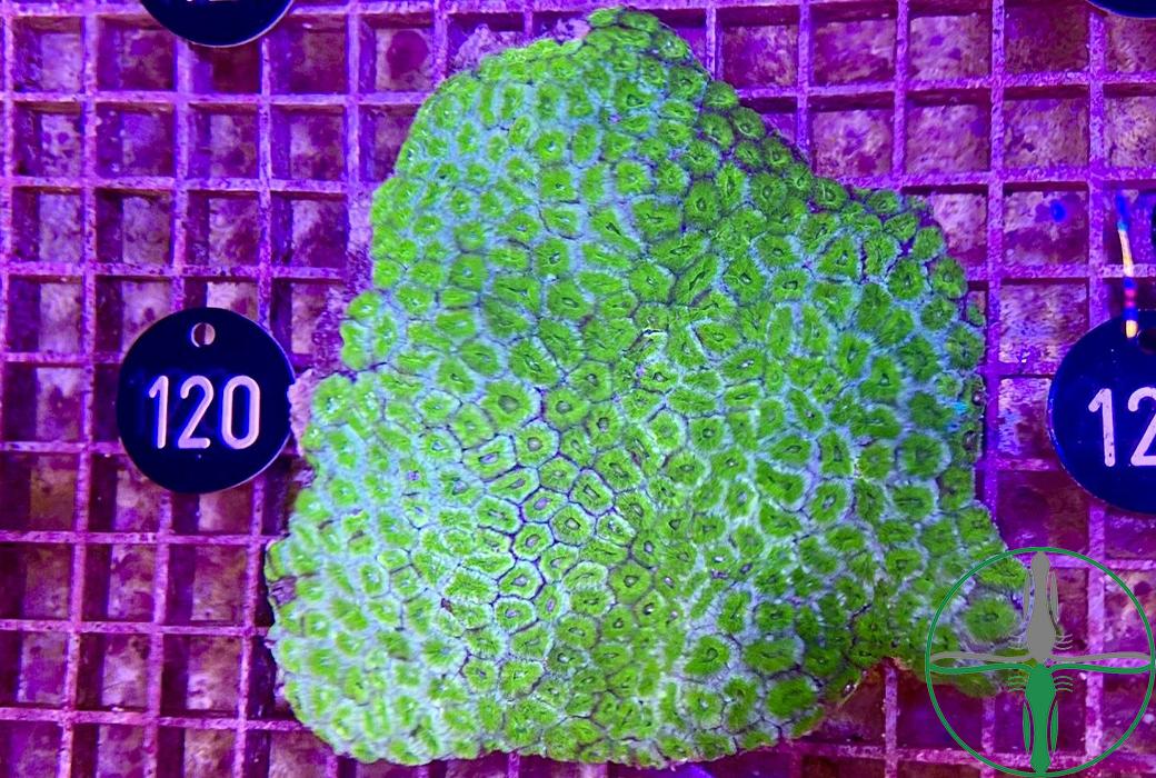 Acanthastrea Lordhowensis Ultra Green XXL - WYSIWYG 120