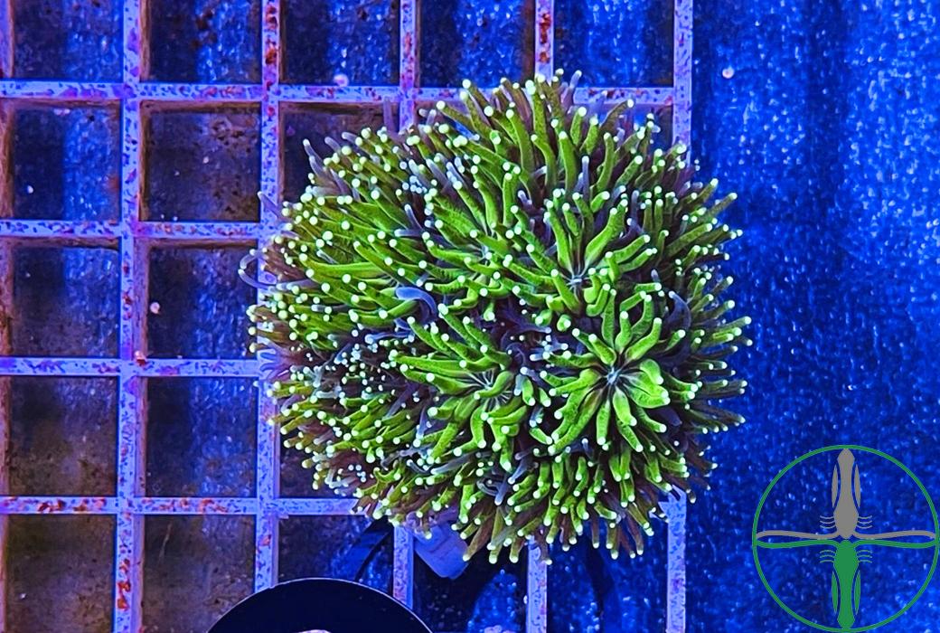 Galaxea Paucisepta grün Kristallkoralle - WYSIWYG 084