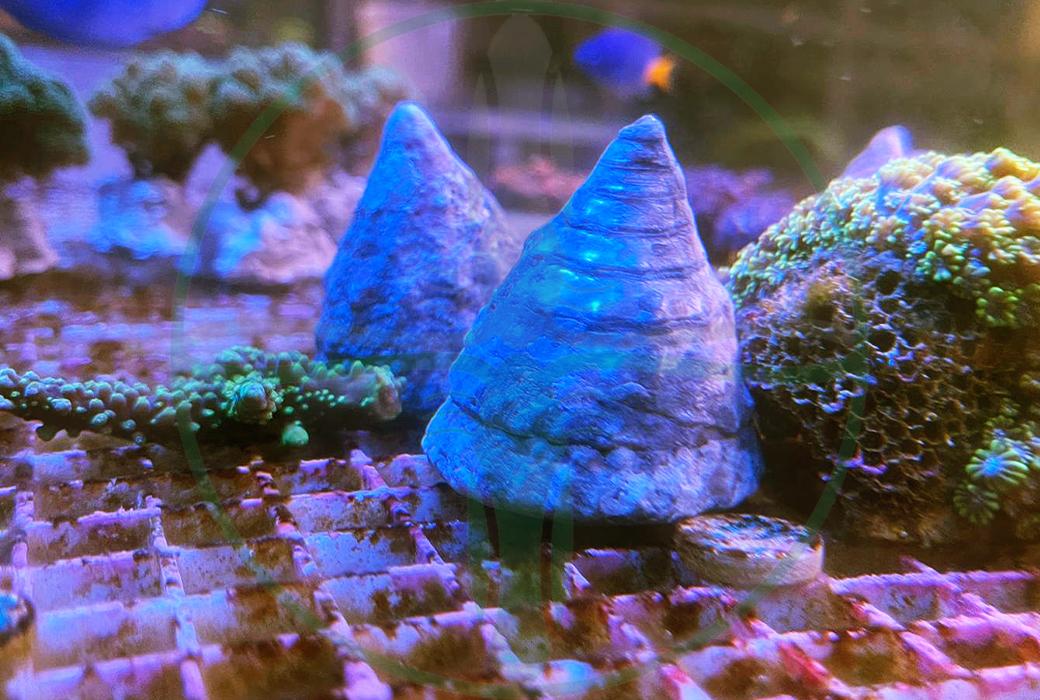 Tectus pyramis - Kegelschnecke Algenfresser XL