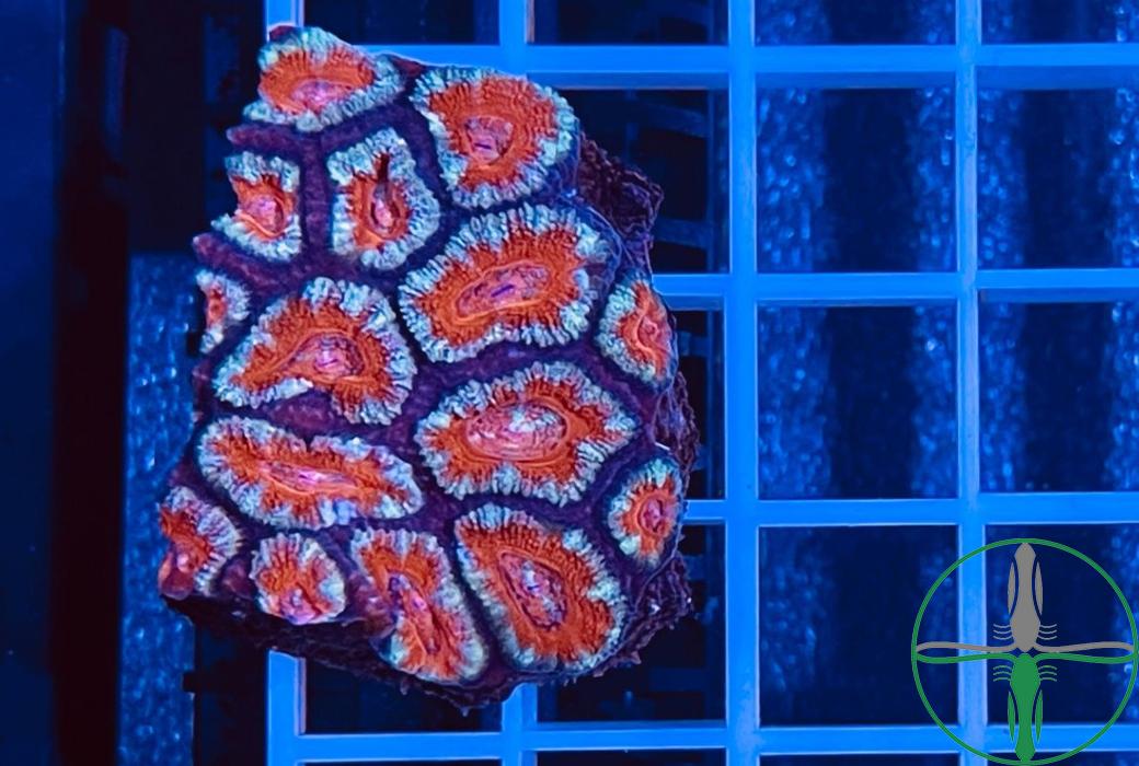 Acanthastrea lordhowensis- WYSIWYG 100
