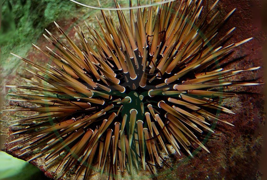 Echinometra Mathaei - Riffdach Bohrseeigel
