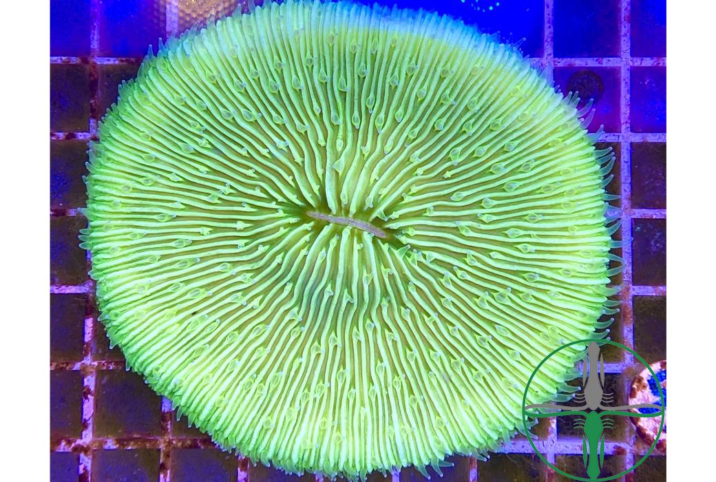 Fungia hellgrün - Pilzkoralle WYSIWYG C6