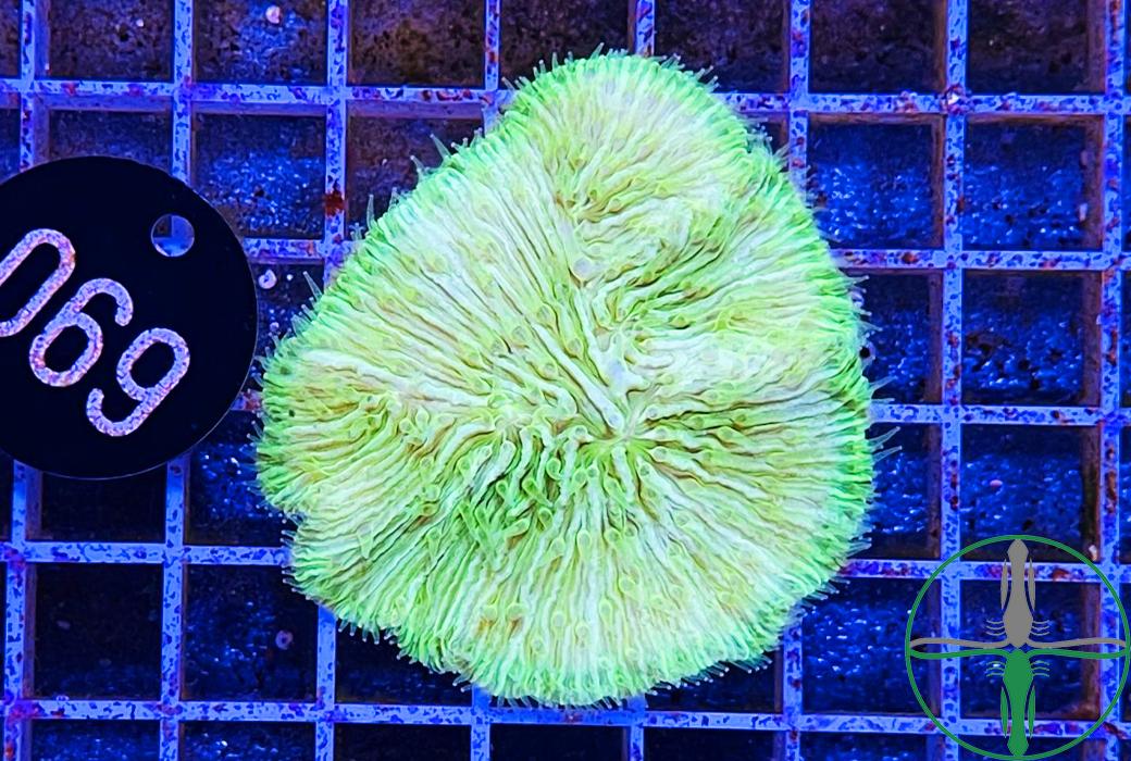 Fungia giftgrün - WYSIWYG