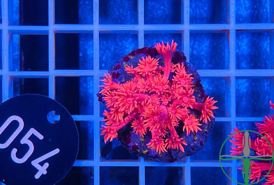 Goniopora Metallic Rot Pink
