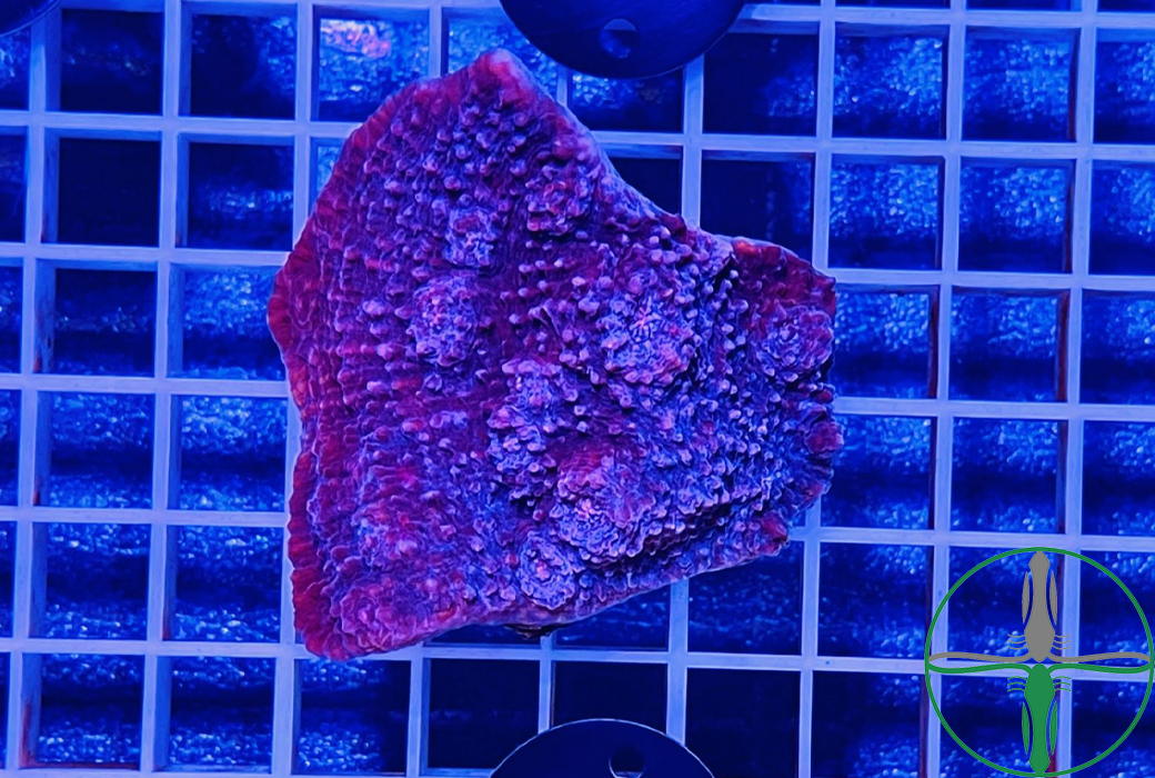 Echinophyllia Aspera Chalice Red - WYSIWYG 007